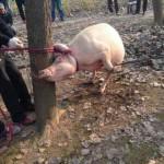 家畜再伤人!2岁娃被母猪吃掉