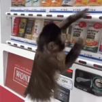 成精了!卷尾猴会用自动售货机买饮料