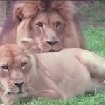 母狮花式求亲热 公狮全程冷漠脸