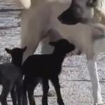 小羊羔被抛弃 狗妈妈主动收养还亲自哺乳