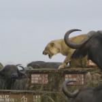 小狮子被牛群围攻 唤来妈妈成功脱困
