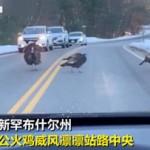 好man!公火鸡拦停车辆,让母火鸡平安过马路