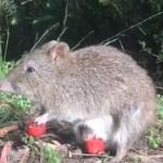 巨萌~长鼻袋鼠BB探出育儿袋,偷吃草莓