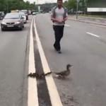 母鸭子带娃过马路 善良司机停车护送