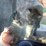 小北鼻逛动物园,和美洲狮意外互动,萌翻众人~