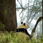 熊猫BB爬树嬉戏,宝妈树下静静守护