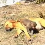 暖心!印度小猴成孤儿,被怀孕母狗收养
