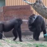 笑喷!当母猩猩有了二宝后,大宝各种刷存在感